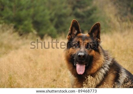 German shepard lying in yellow grass with coniferous wood in background - stock photo