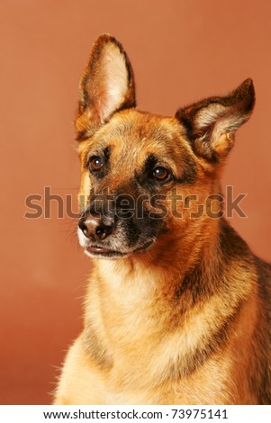 german shepard portraid isolated on brown studio background