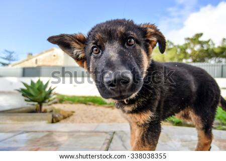 German Shepard Puppy - stock photo