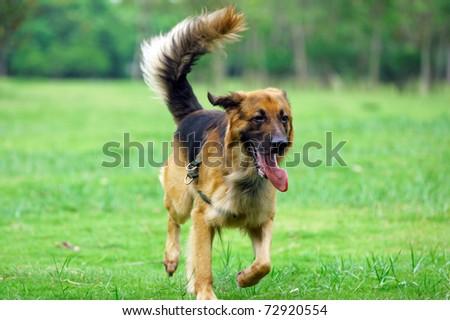 German Shepard running on the lawn - stock photo