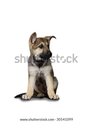 German Sheperd Puppy Looking to One Side - stock photo