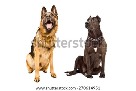 German Shepherd and Staffordshire terrier curious looking up sitting together isolated on white background - stock photo