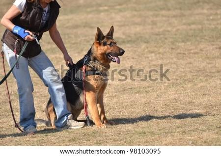 german shepherd at dog training - stock photo