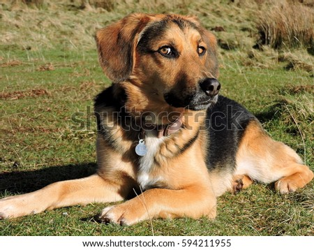 German Shepherd Mix Stock Images Royalty Free Images