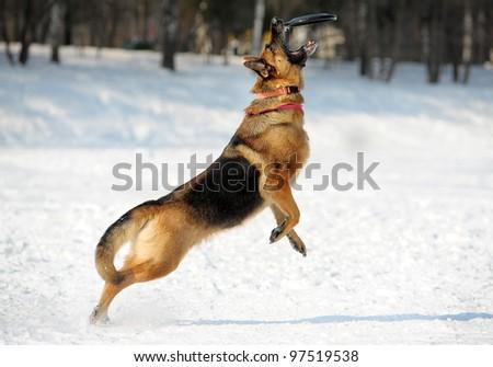 german shepherd catching disk - stock photo