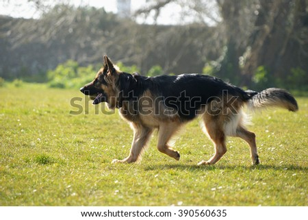 German Shepherd, Dog