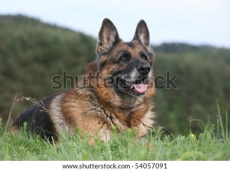 German Shepherd Dog - stock photo