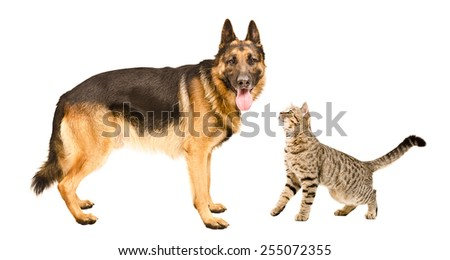 German Shepherd dog and cat Scottish Straight standing together isolated on white background - stock photo