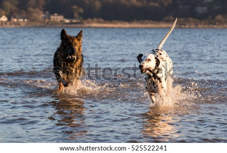 German Shepherd Dog and Dalmatian having fun in the sea with a stick chasing each other