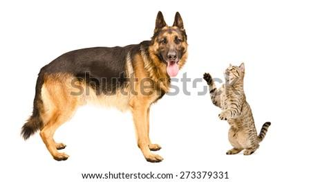 German Shepherd dog and playful cat Scottish Straight isolated on white background - stock photo