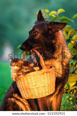 German shepherd dog carry basket with little kittens - stock photo