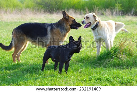 German Shepherd Dog, French Bulldog and Labrador  - stock photo