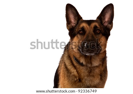 German Shepherd Dog, Guard Dog, sitting closeup  in front of white background - stock photo