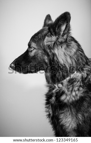 German Shepherd dog, in black and white - stock photo