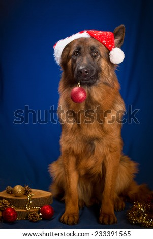 German Shepherd Dog in santa hat holding christmas ball in its mouth. Blue background - stock photo