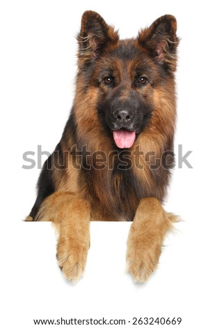 German shepherd dog isolated on a white background - stock photo