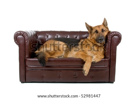 German shepherd dog isolated on a white background