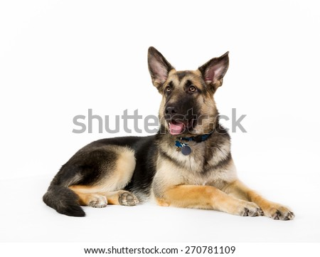 German shepherd dog isolated on white background in studio.