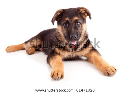 German Shepherd dog, isolated over white - stock photo