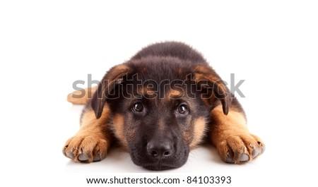 German Shepherd dog, isolated over white - stock photo