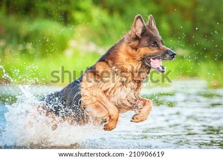 German shepherd dog jumping in water  - stock photo
