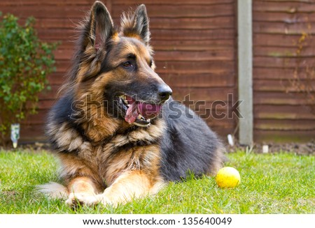 german shepherd dog laying in the garden with a ball in his mouth - stock photo