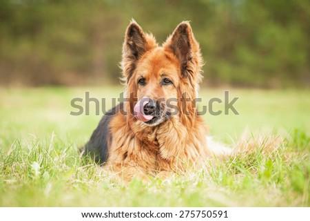 German shepherd dog licking its nose - stock photo