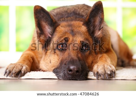 German shepherd dog looking aside and laying on the floor in home waiting for her owner, with sunny window in the background - stock photo