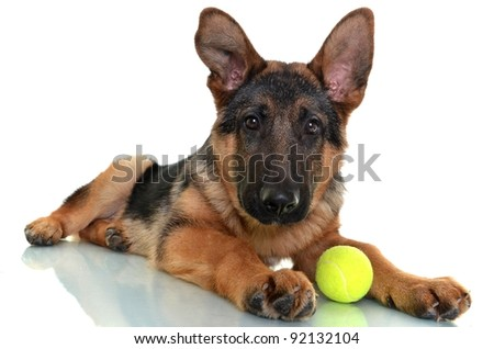German Shepherd Dog, 4 months old, playing with ball isolated on white background - stock photo