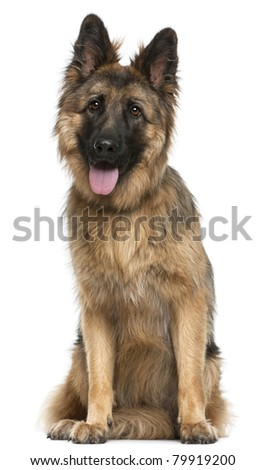 German Shepherd Dog, 21 months old, sitting in front of white background - stock photo