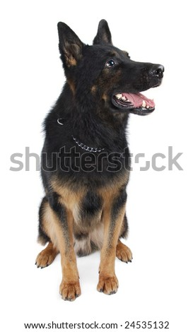 German Shepherd Dog on a white background, sitting. - stock photo
