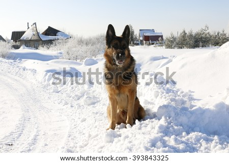 German shepherd dog on snow road