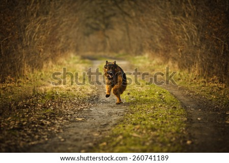 German shepherd dog playing in autumn - stock photo