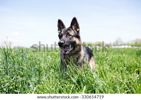 German Shepherd dog playing in tall grass