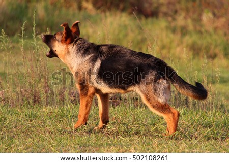 German Shepherd Dog Puppy at Four Months Barking