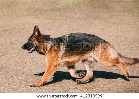 German Shepherd Dog Running. Alsatian Wolf Dog. Deutscher Dog - stock photo