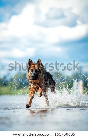 German shepherd dog running in water  - stock photo