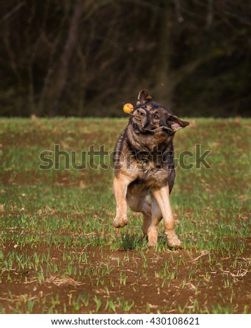 German shepherd dog running through a meadow and plays with the ball, he's happy