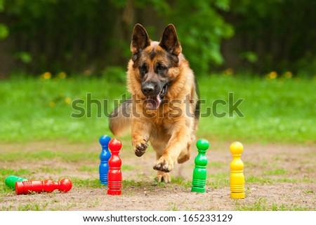 German shepherd dog running through skittles - stock photo