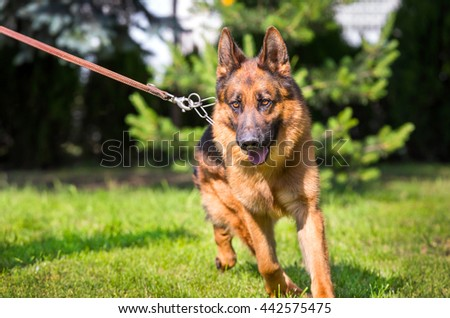German shepherd dog running with collar - stock photo