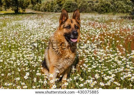 German Shepherd dog sitting among the daisies. - stock photo