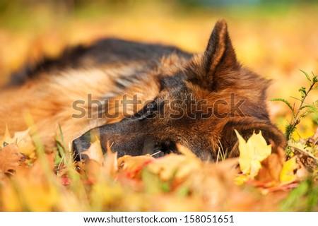 German shepherd dog sleeping on leaves in autumn - stock photo