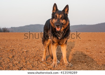 German shepherd dog standing in a natural scenery - stock photo