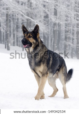 German shepherd dog standing in snow, winter forest in the background.