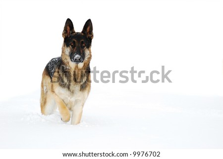 German Shepherd dog, standing in the snow. isolated