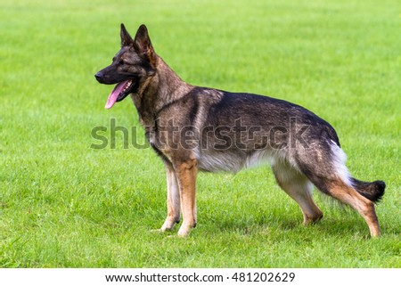 German shepherd dog standing porfile shot with turned head