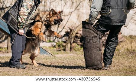 German Shepherd Dog Training. Biting Alsatian Wolf Dog. - stock photo