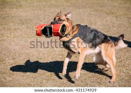 German Shepherd Dog Training. Biting Alsatian Wolf Dog. Deutscher Dog - stock photo