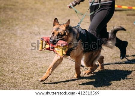 German Shepherd Dog Training. Biting Alsatian Wolf Dog. Deutscher Dog Running With Handler - stock photo