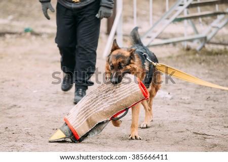 German Shepherd Dog training. Biting dog. - stock photo